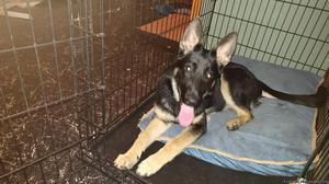 Serious inquiries only AKC female German Shepherd