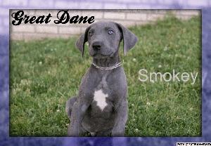Smoky: Male Great Dane Puppy
