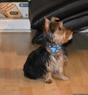Yorkie 5 months old