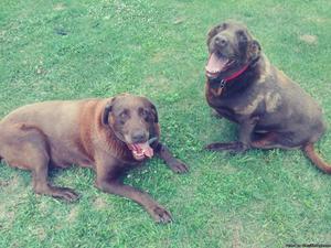 2 7 year old Chocolate Labrador Retrievers