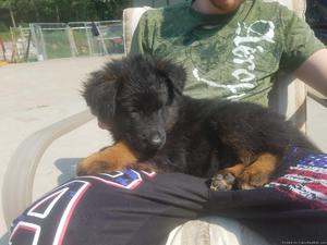 Plush long coat AKC registered German Shepherd pups