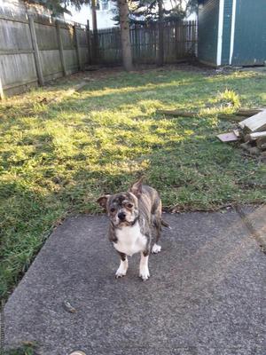 Bridle Chihuahua needs a home
