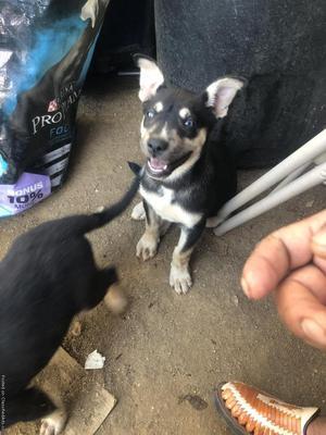 German Shepherd Husky mix puppies