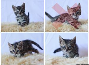 Registered Bengal kittens