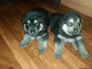 Purebred german shepherd puppies ready for a new loving home