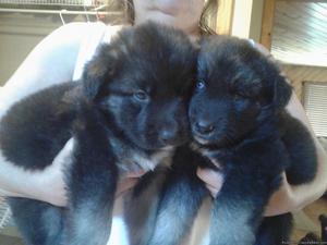 Shepard/huskey mix puppies