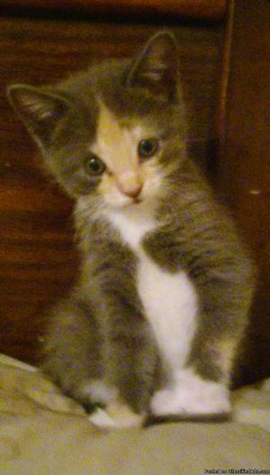 1 6 Week Year Old Female Litter Trained Kitten In Need Of A