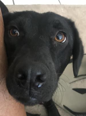 Black female lab, spayed, good with kids, free to good home