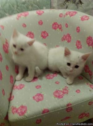 White and 1 Black Turkish Angora kittens, r