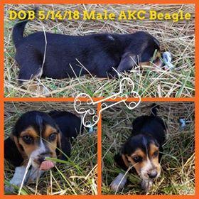 AKC Male Beagle