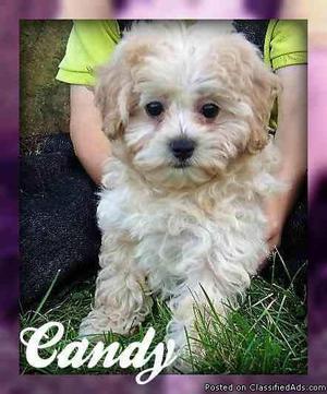 Candy: Female Mini Poodle