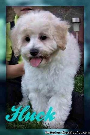 Huck: Male Mini Poodle