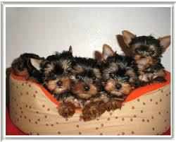 Adorable Yorkie-Morkie puppies need a home