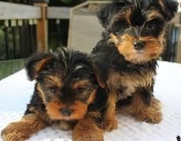 Yorkie/Biewer puppies