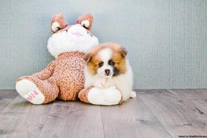 3 TeaCup Pomeranian Puppies for sale