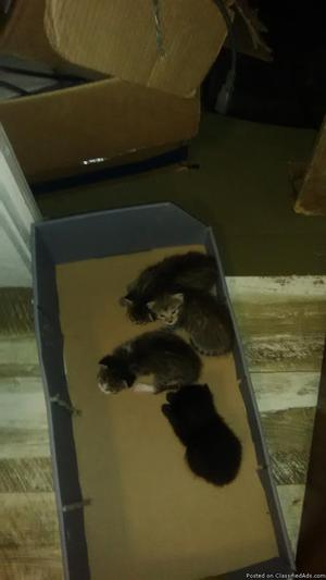 4 free kittens