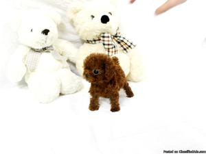 Male and female Teacup Poodle puppies