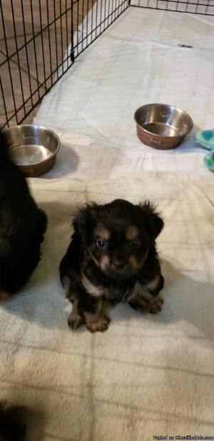 Shih Tzu / Yorkie mix puppies