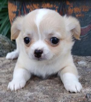 Chihuahua Puppy--Female--Longcoat--Fawn with White Markings