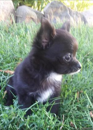 Chihuahua Puppy-- Male--Longcoat--Black with White Markings
