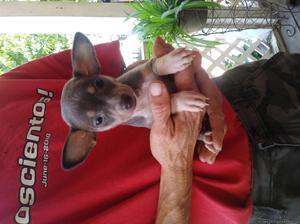 2 female Chihuahua pups.