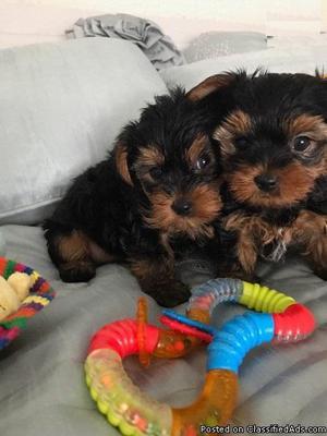 Yorkshire terrier +