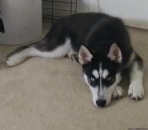 Male husky puppy needs a home