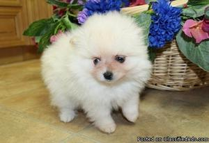 Portable Pure breed Pomeranian available