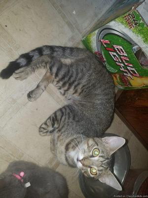 tiger male cat