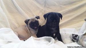 ACA registered 11 week Pug for Sale