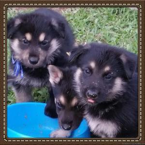 Prebred germa shepherd puppies