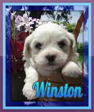 Winston Male Teddy Bear