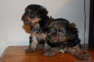 Yorkshire Terrier Puppies Male and Female Available