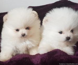 pomeranian puppies up for adoption