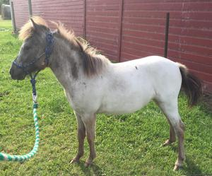 Registered Falabella AND AMHR yearling filly