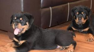 Stunning Male and Female German Rottweiler Puppies.