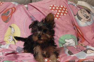 Active male And Female Yorkie Puppies.