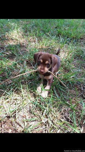 Chihuahua Beagle mix puppy