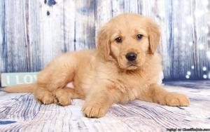 Great Personality male and female Golden retriever pups