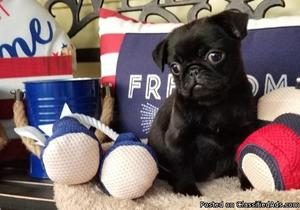 Lovely Akc Pug Puppies available