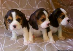 11 weeks old beagle puppies available