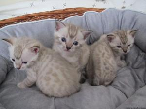 Cute Bengal Kittens Available for adoption