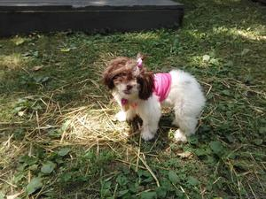 4 month old Shih Tzu female puppy