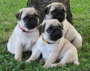 Charming male and female Pug Puppies.