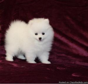 T-cup Size Pomeranian puppies for Re-homing