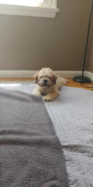Teddy bear puppy (zuchon)