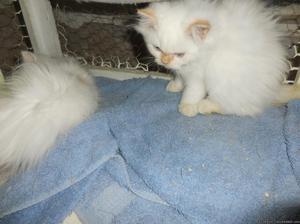 CFA Persian Kitten