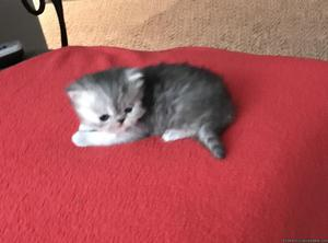 Persian kittens for sale !!