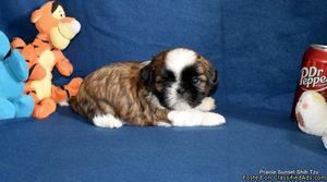 AKC Shih Tzu Puppies Champion Bloodlines