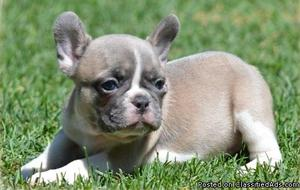 French Bulldog Puppies Need a New Home!